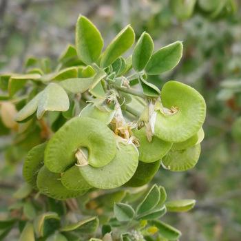 Fruits de la luzern arborescente