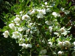 Arbres et arbustes fleuris en été