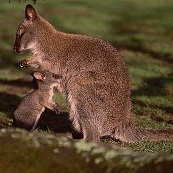 le bébé wallaby et sa maman au parc de branféré
