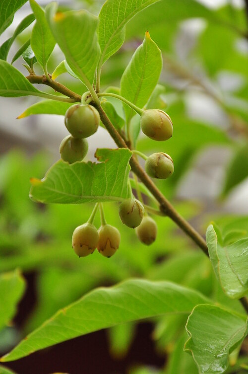 Fleurs cultivées : Iochoroma