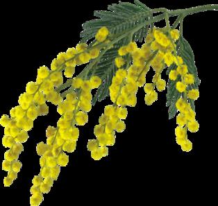 ♥ Mimosas ♥