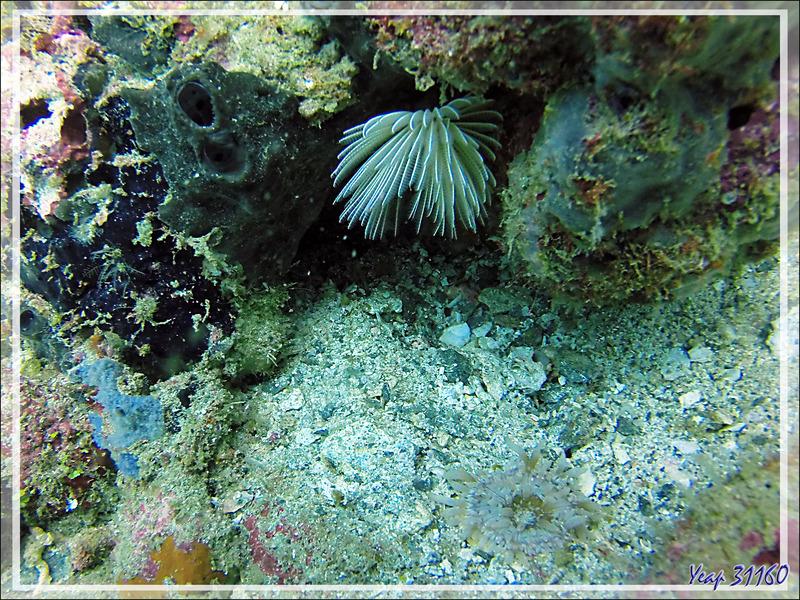 Ver tubicole blanc et anémone ? - Spot Betalinjona - Nosy Tsarabanjina - Archipel Mitsio - Madagascar