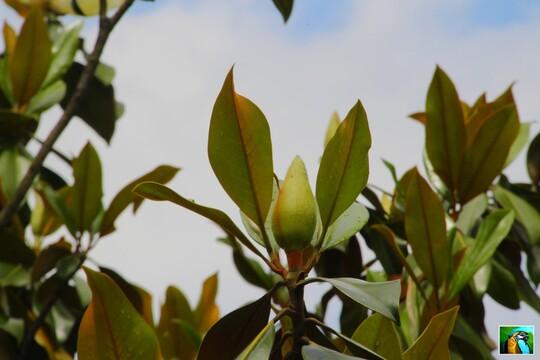 Jolie magnolia