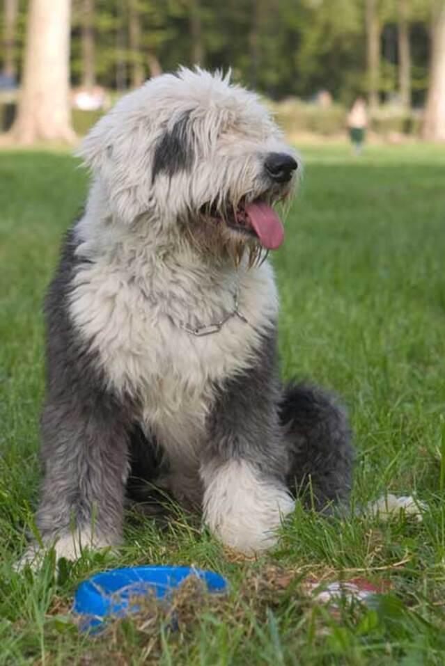 Races de chiens:  Bobtail
