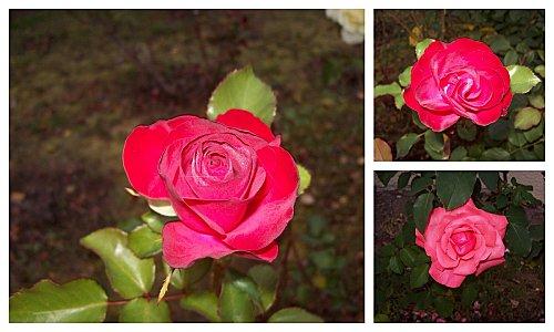 3-roses-14-octobre-2011.jpg