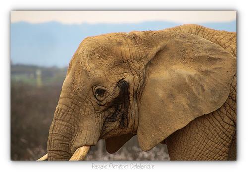 Éléphant de savane d'Afrique (Loxodonta africana)