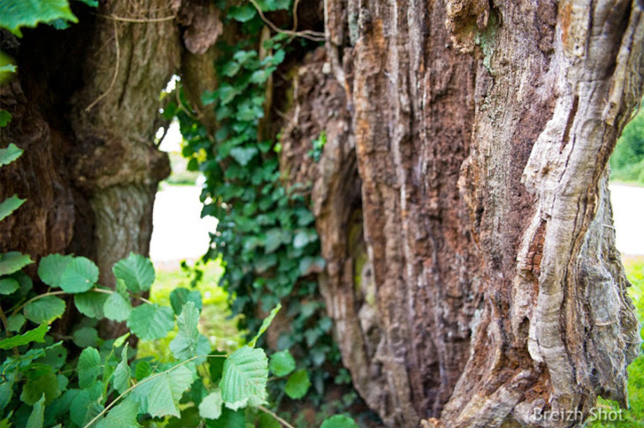 chêne creux du Pouldu