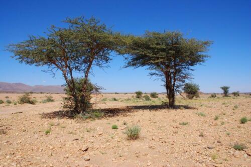 Des acacias