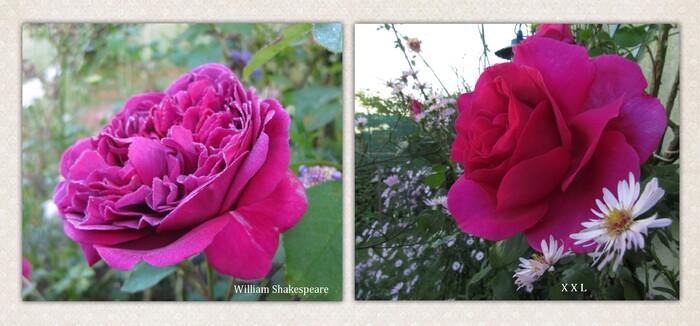 Abécédaire des roses du jardin 2018