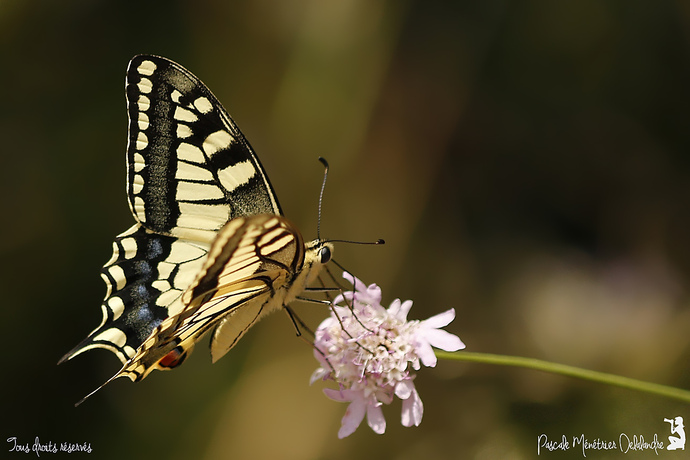 Machaon - Papilio machaon - Papilionidae