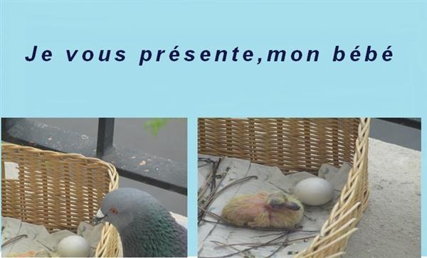Présentation  du bébé pigeon