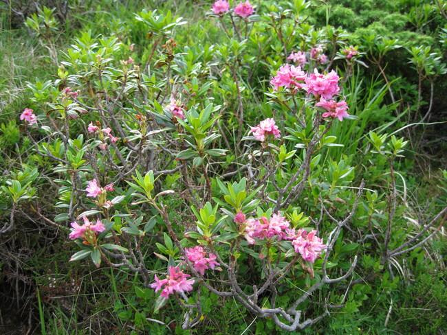 Fleurs de montagne des Pyrénées