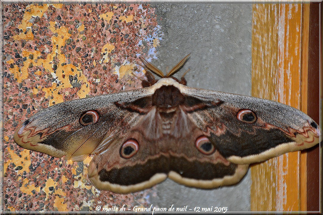 Papillon : Grand paon de nuit