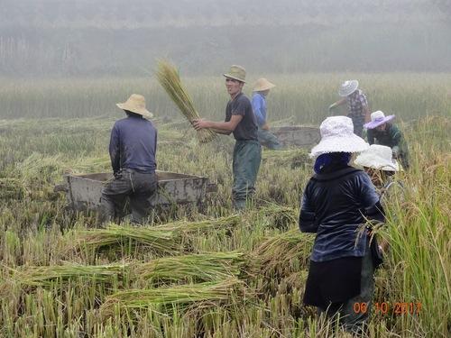 la récolte du riz dans les villages