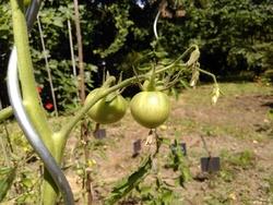 24 juillet : le temps des pommes de terre