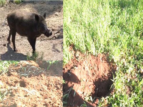 جرافة الخنزير البري تواصل  هجماتها على الفلاح في بويخباش اركمان رغم الشكايات الكثيرة للمواطنين