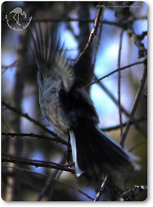 Mésange à longue queue - Aegithalos caudatus - Passériformes