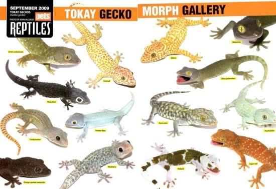 Tokay_gecko_morphs_gallery
