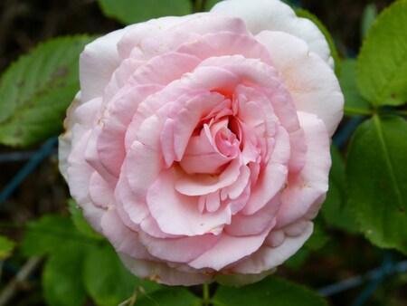 Les roses du Mois d'aout