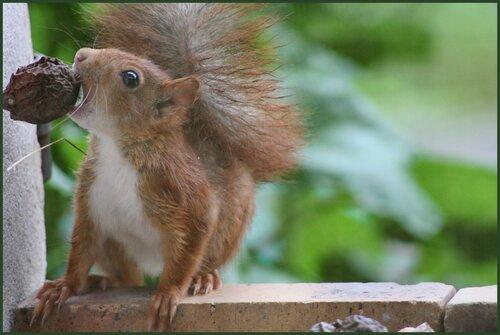 Rouxy l'écureuil