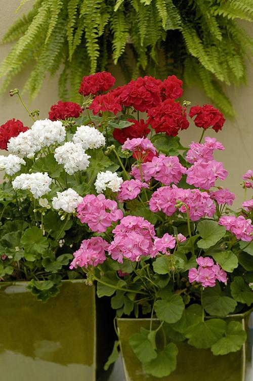 Fleurs cultivées : Pélargonium