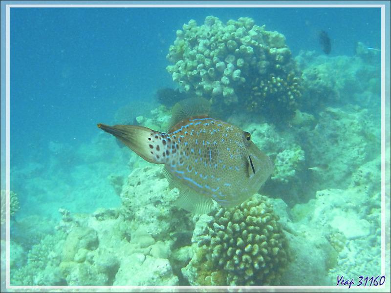 Snorkeling : Poisson lime gribouillé, Scrawled filefish, Scribbed leatherjacket (Aluterus scriptus) - Moofushi - Atoll d'Ari - Maldives
