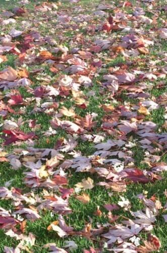 feuilles erable 003 678 norm