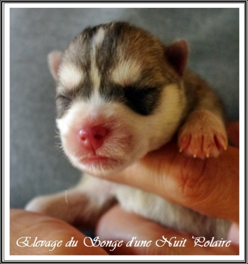 Chiot Husky Femelle 1 (naissance)