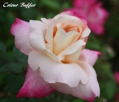 Les Roses de Warren : Colour Buffet