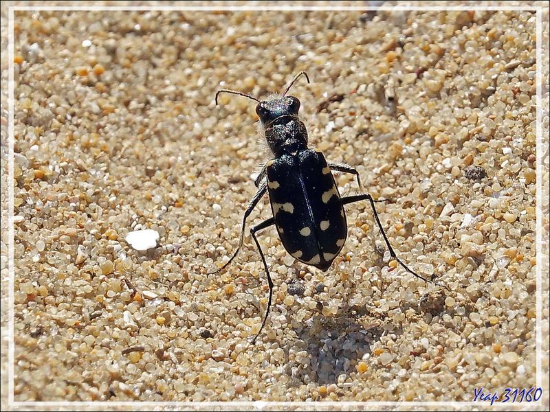 Cicindèle du littoral atlantique (Calomera littoralis littoralis) - Ars-en-Ré - Ile de Ré - 17