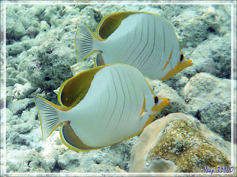 Snorkeling : Poisson-papillon à tête jaune, Yellowhead butterflyfish (Chaetodon xanthocephalus) - Moofushi - Atoll d'Ari - Maldives
