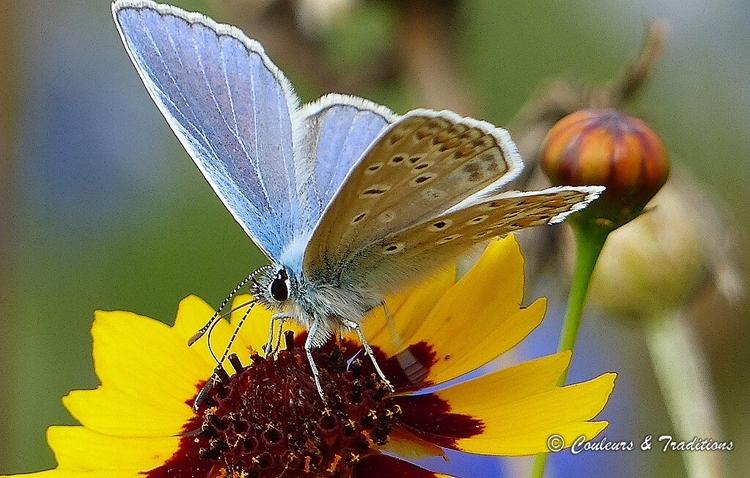 Azuré bleu celeste mâle