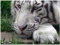 Tigre blanc... Doux rêveur