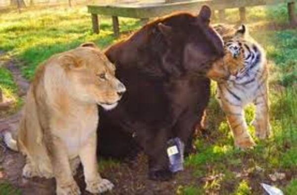L'amitié entre un ours, un tigre et un lion