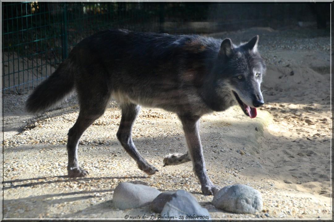 Loup - Zoo de la Palmyre - Charente-Maritime (5)