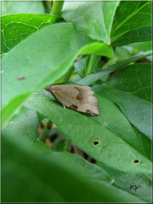 Lozotaenia forsterana.