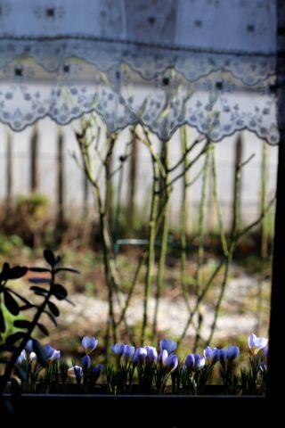 Crocus en jardinières