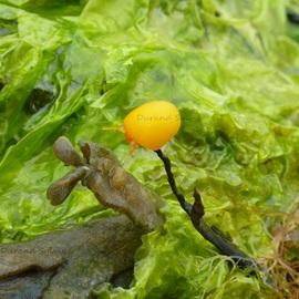 Berthellina ou Berthelle Orange ou Limace de mer - Mollusque gastéropode