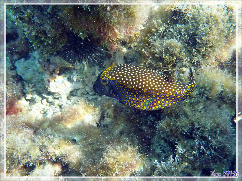 Poisson-coffre pintade ou Coffre à taches blanches, Whitespotted boxfish (Ostracion meleagris) - Baie d'Avea - Huahine - Polynésie française