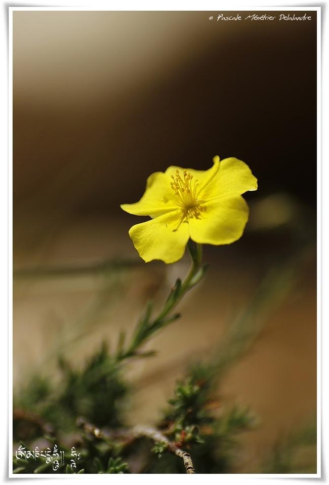 Lin jaune (Linum flavum)