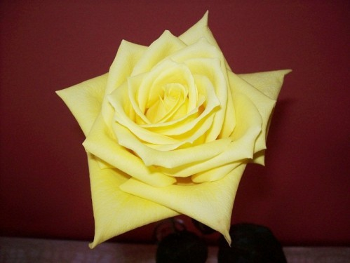 rose-jaune-26-avril--3.jpg