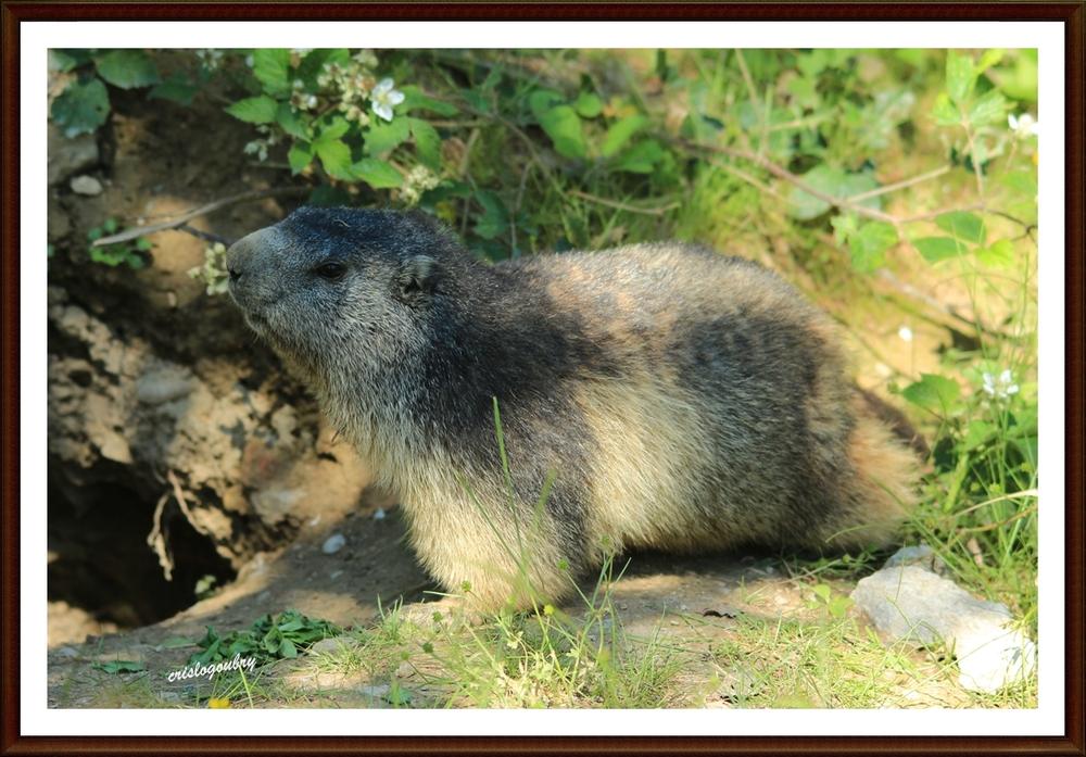 Madame la marmotte..