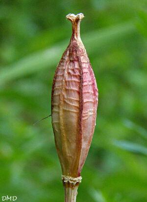 Tulipa sylvestris subsp. australis - tulipe du Midi