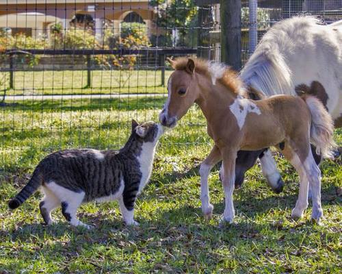 DUOS  CHEVAUX  et  CHATS
