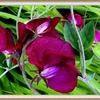 fleur-pois-de-senteur