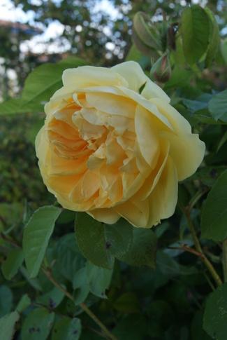Les iris compagnons du rosier jaune 'Graham Thomas' de David Austin