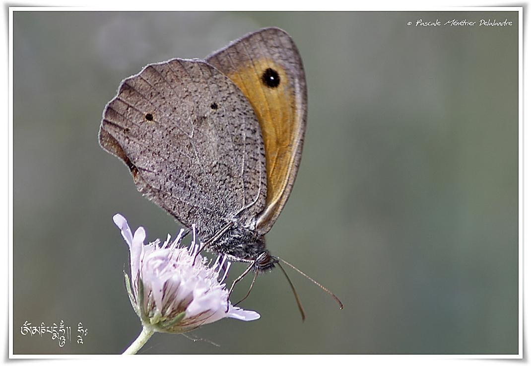 Myrtil (Maniola jurtina) - Nymphalidae