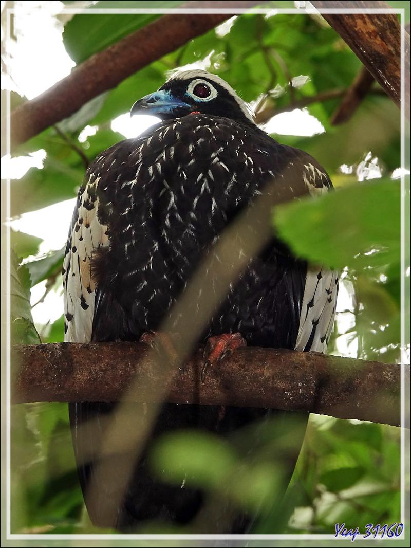 Pénélope à front noir, Black-fronted piping guan (Pipile jacutinga) - Parque das Aves - Foz do Iguaçu - Brésil