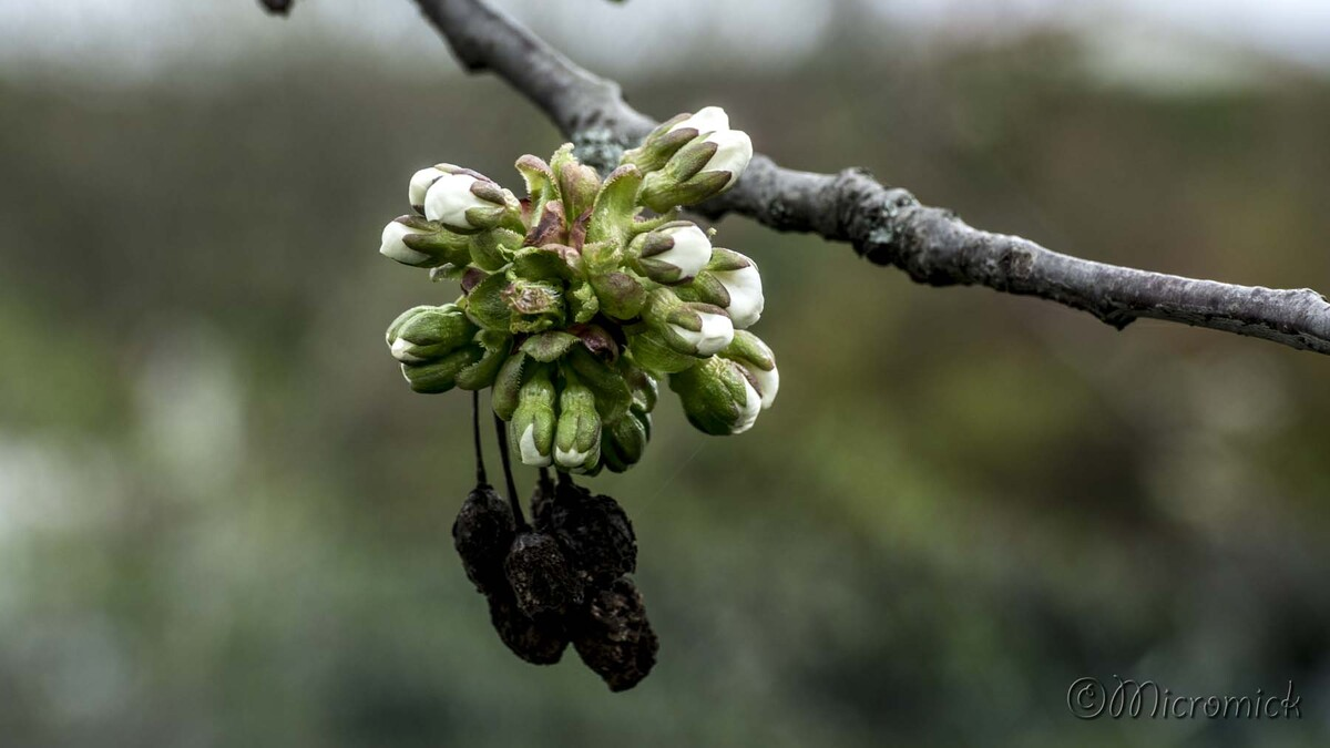 Printemps 2018 éclosion du cerisier.