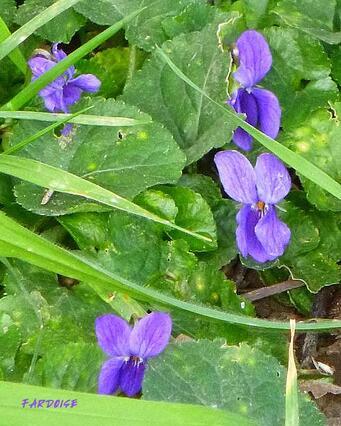 Douceurs à la violette